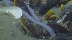 Mussels and sea cucumbers at Kick'em Jenny cold seeps. Photo credit: Ocean Exploration Trust
