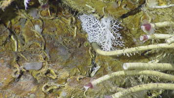 Lamellibrachia sp. 2 tubeworms. Photo credit: Ocean Exploration Trust.