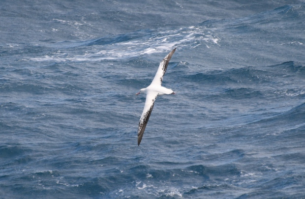 Wandering albatross. Photo credit: Diva Amon.