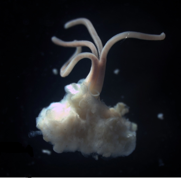 Osedax_bone-eating_polychaete_worm