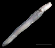 Zoarcidae fish from Von Damm vents. Photo credit: Dr. Adrian Glover.