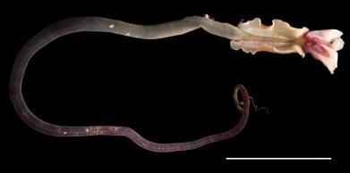 Lamellibrachia tubeworm from Von Damm vents. Photo credit: Dr. Adrian Glover.