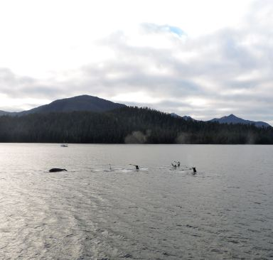 A pod of Humpbacks in Sitka Sound