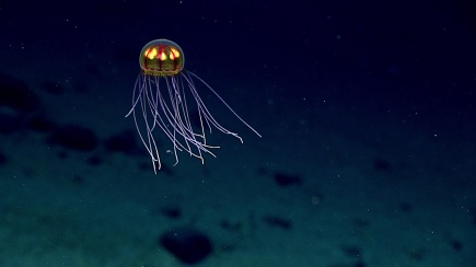 A likely new species of jellyfish encountered. Photo credit: NOAA OER.