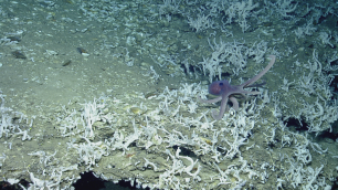 An octopus surrounded by many sponges on the outskirts of one of the Trinidad and Tobago seeps. Both the octopus and sponge are thought to be new species. Photo credit: Ocean Exploration Trust.