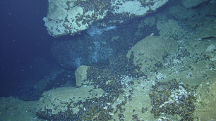 Thousands of deep-sea Bathymodiolus mussels and many Lamellibranchia tubeworms are seen at one of the cold seeps off Trinidad and Tobago visited by the EV Nautilus in 2014. Photo credit: Ocean Exploration Trust.