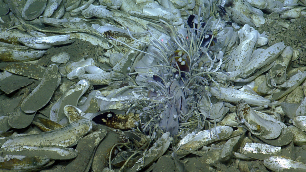 A group of tubeworms, mussels, snails, anemones, and shrimp surrounded by the shells of dead mussels at a seep off Trinidad and Tobago. Photo credit: Ocean Exploration Trust.